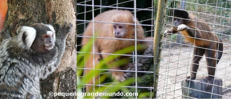 Primatas no Zôo do Parque Dois Irmãos: saguis (em vida livre) e 2 espécies de macacos-prego (em cativeiro)