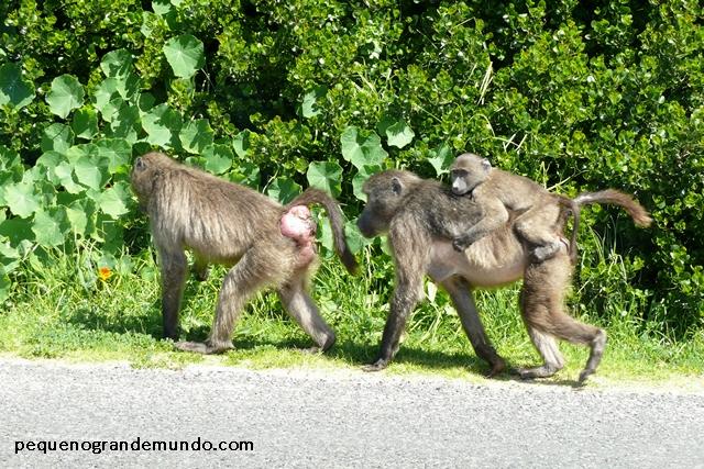 Macacos Babuínos nas estradas de Cape Town