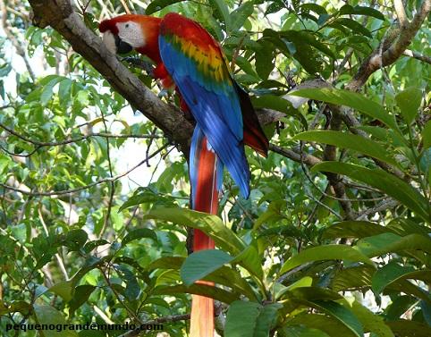 Arara-macao e a exuberância de sua cores