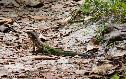 Animais com cores fantásticas, como esse lagarto