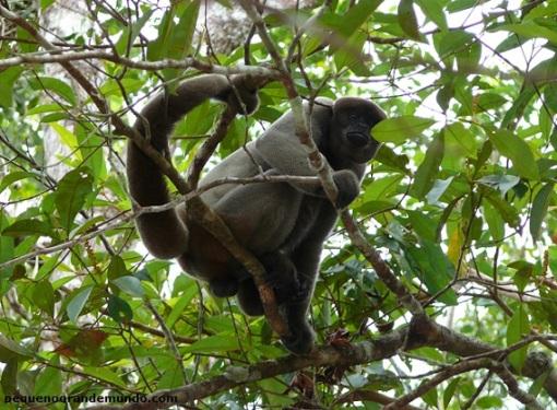 macaco-barrigudo no Refúgio dos Macacos