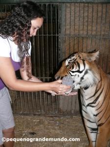 Dando 2L de leite para o tigre filhotão