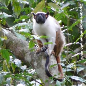 Sauim-de-coleira: pequeno primata criticamente ameaçado que só existe em Manaus e imediações. Foto feita no Hotel Amazon Ecopark.