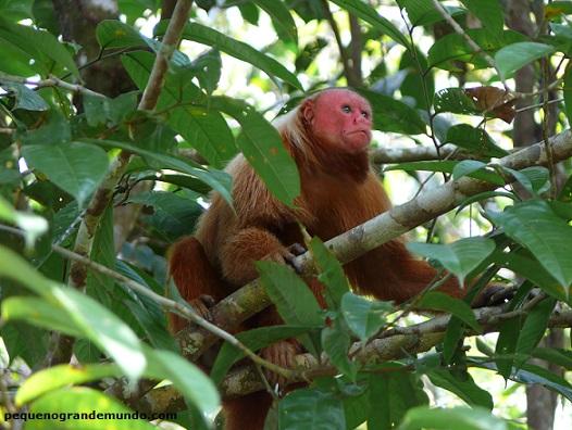 Macacao Uacari, no Refúgio dos Macacos