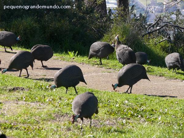 Galinhas-d'angola ou Guinea fows, em Signal Hill