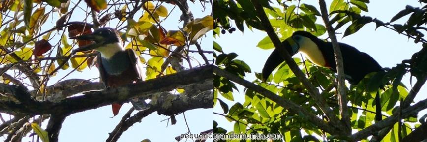 observação aves Amazônia