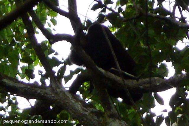 Macaco cuxiú, Presidente Figueiredo, Amazonas