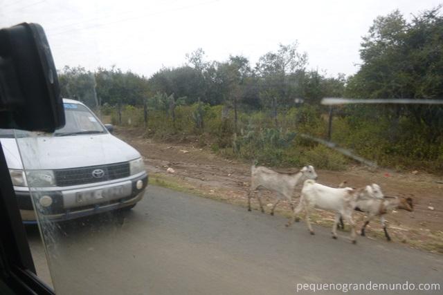 Animais na estrada Quênia
