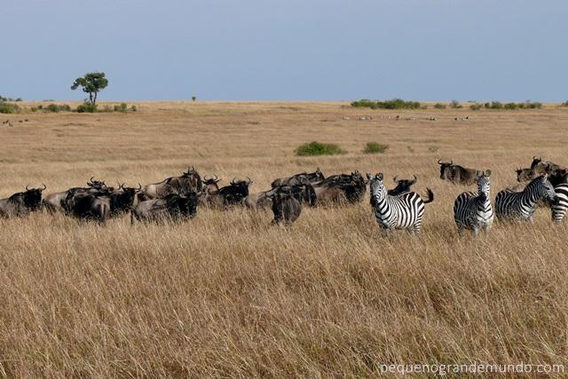 grande migração Quênia